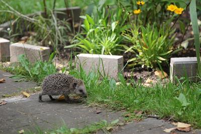 hedgehog garden path