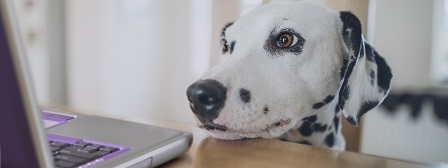 Dalmatian with head in front of laptop