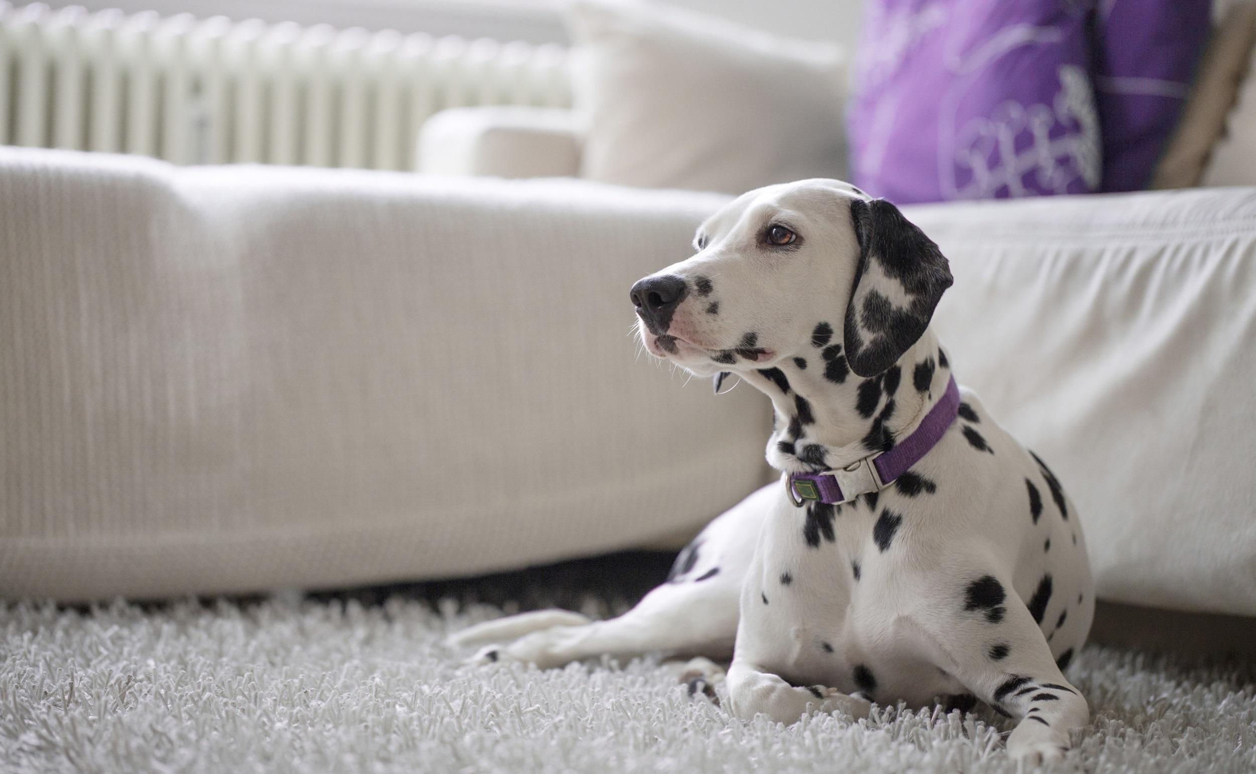 Dalmation next to a white sofa