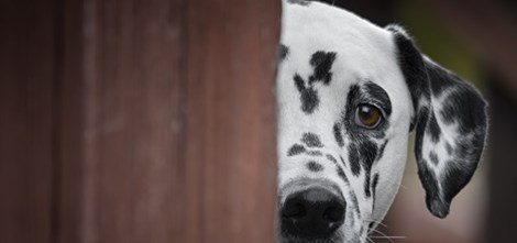 Dalmatian peeking behind a wooden door
