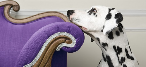 A dalmatian resting their face on a purple chair