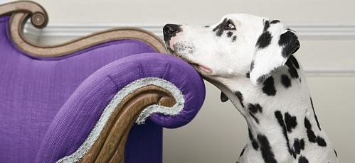 A dalmatian resting their face on a purple chair