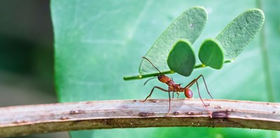 Ant carrying a leaf along a branch