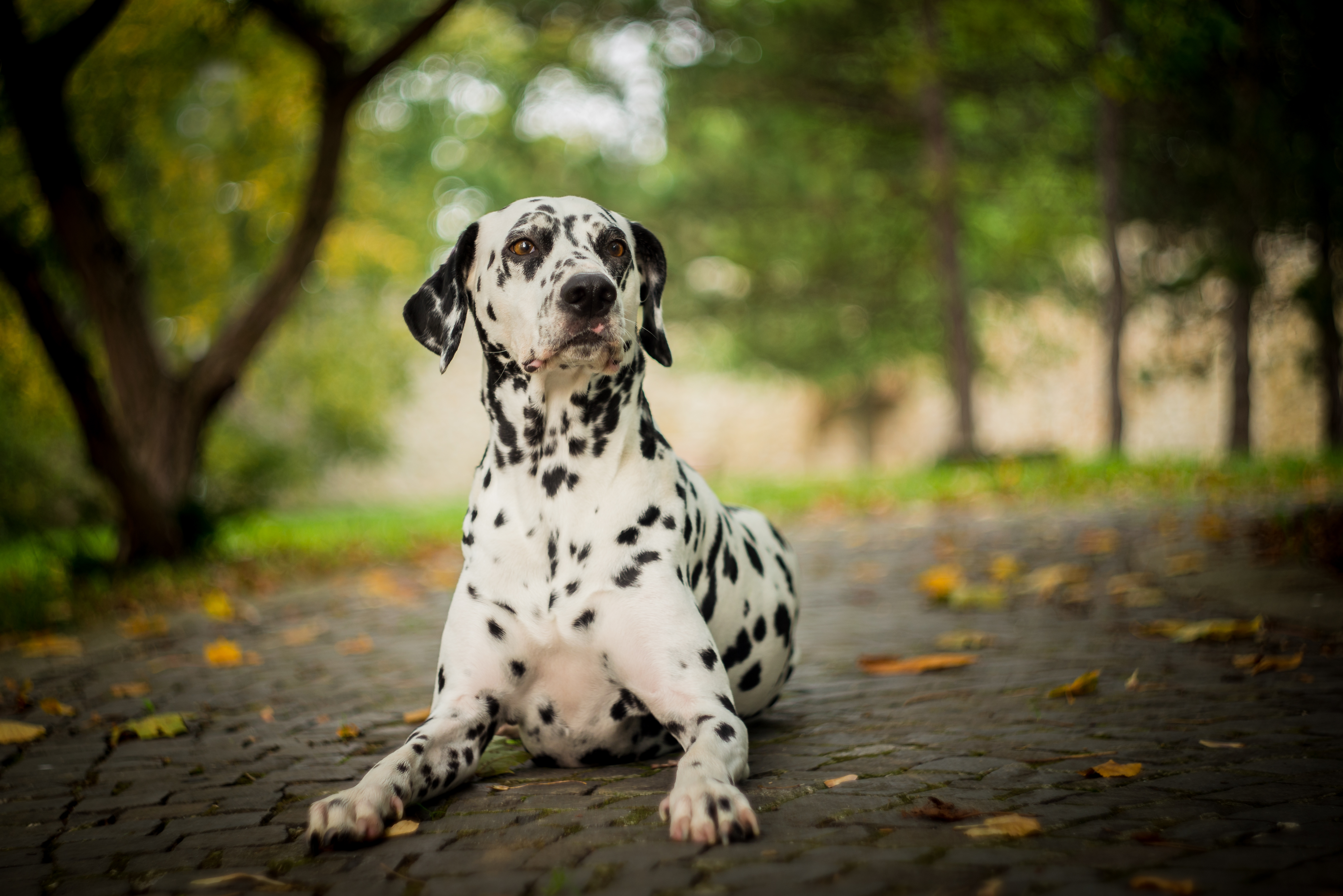 dalmatian laying on the floor in a forest
