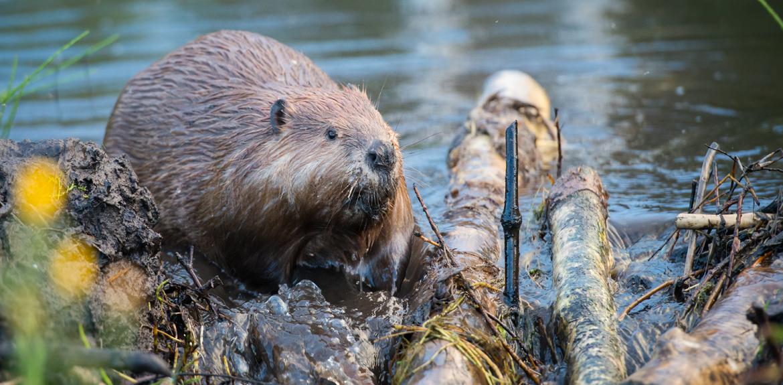 beaver building a natural dam in a river