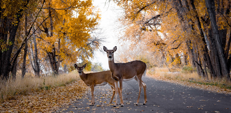 deers standing middle road trees