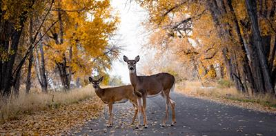 deers standing middle road trees