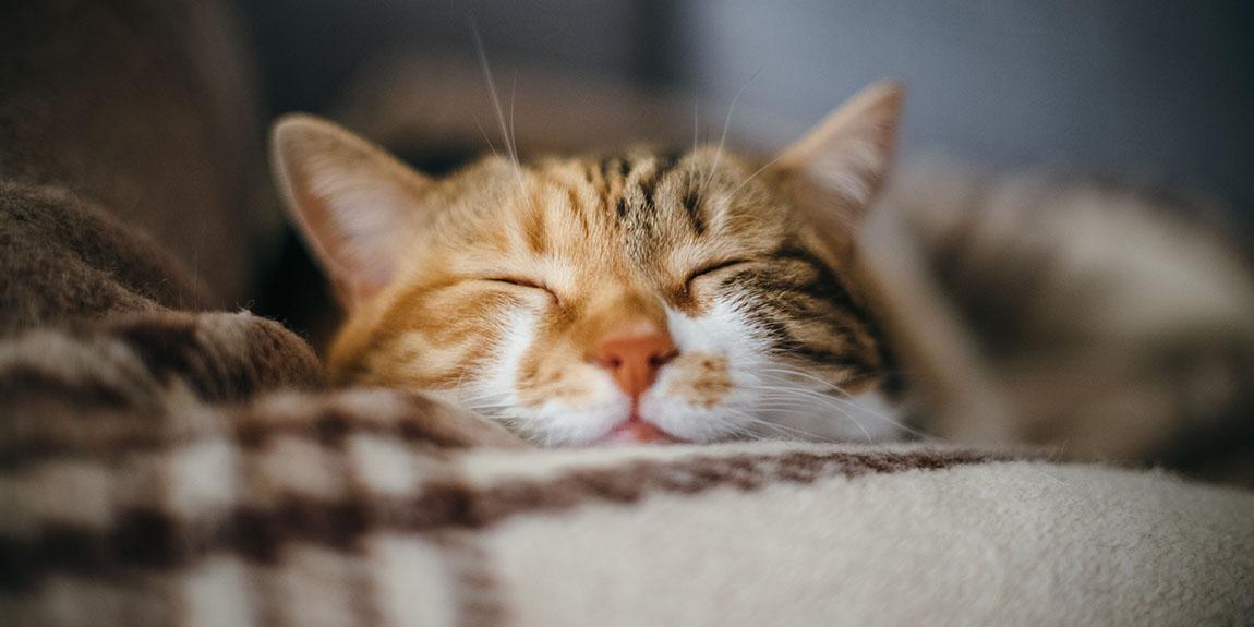 cat asleep blanket