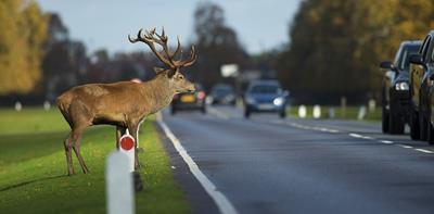 deer standing edge of road cars