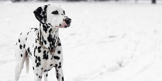dalmation dog in the snow