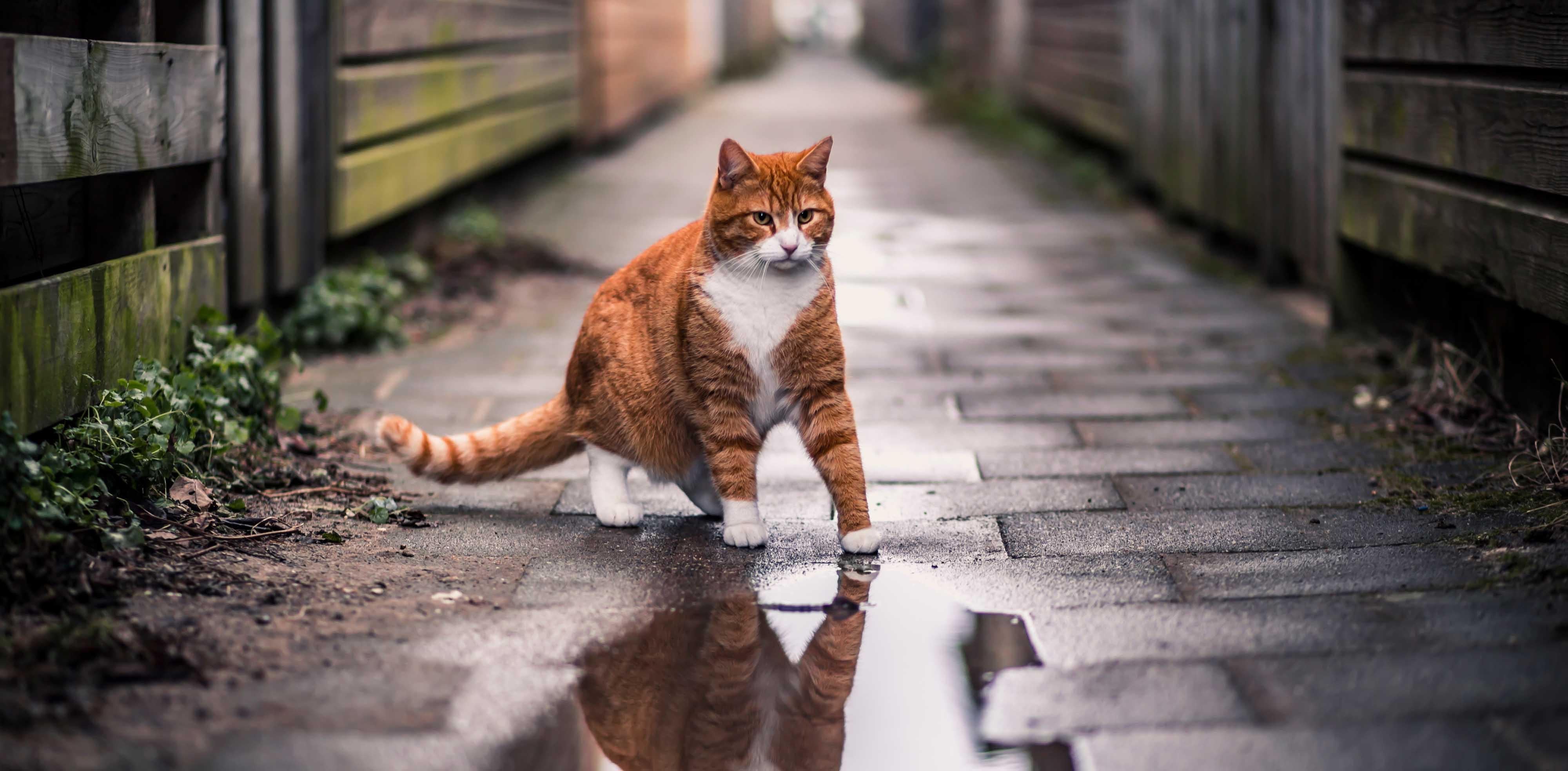 ginger cat alley