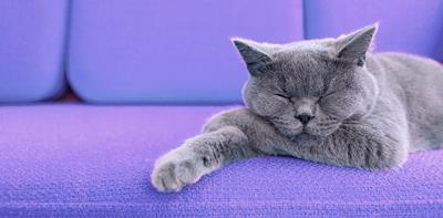 grey cat purple sofa